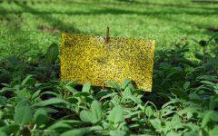 I växthusen hjälper också gula klisterskivor till att fånga in skadedjuren. Resten tar Hypoaspis hand om.